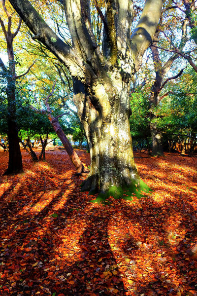 New Forest, Hampshire. UK Tree Tree Trunk Trunk Plant Nature Autumn Land Beauty In Nature Growth Sunlight Plant Part Tranquility Branch Day Park Change Scenics - Nature Outdoors Leaf Field No People Fall Leaves Autumn In The New Forest