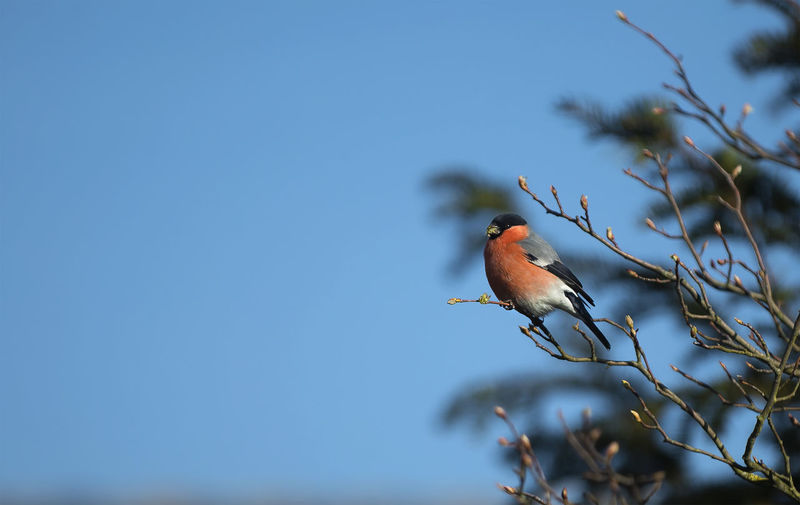 Bird perching on tree against clear blue sky