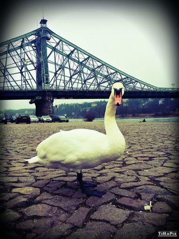 Swan Blaues Wunder  Dresden Animals