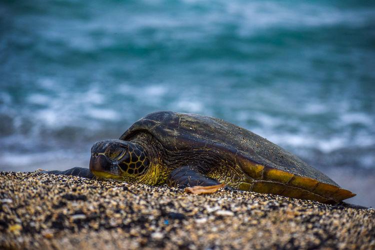 Sea Turtles Sea Turtle Turtle Lounging Hawaii Beach Nature Wildlife Spring