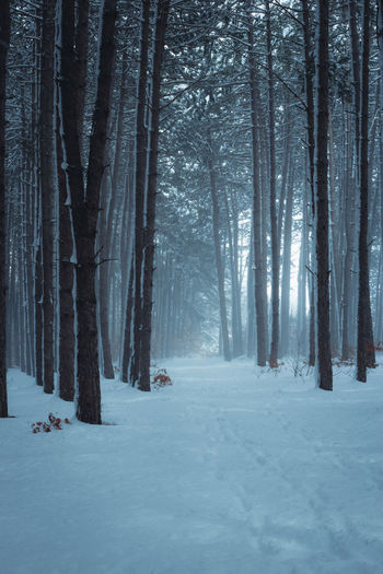Trees on snow covered land during winter forest