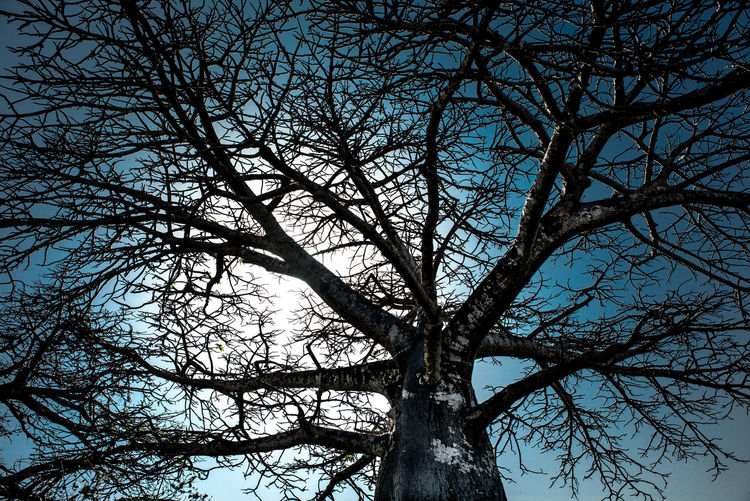Ble Sky Majestic Nature Silhouette African Tree Midday Africa Midday Sunlight Baobab Tree Scenics - Nature Beauty In Nature Nature Tree Trunk Sky Tree Against The Light Against The Sun Against The Sky