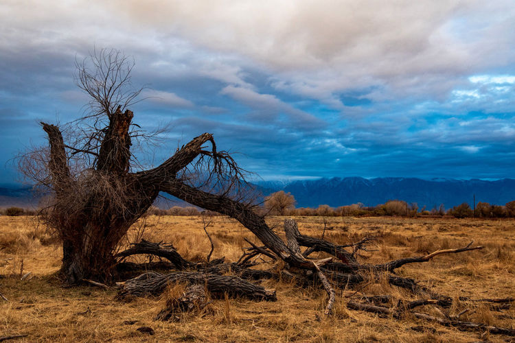 Bare tree broken branches on field under cloudy sunrise with mountain range against sky