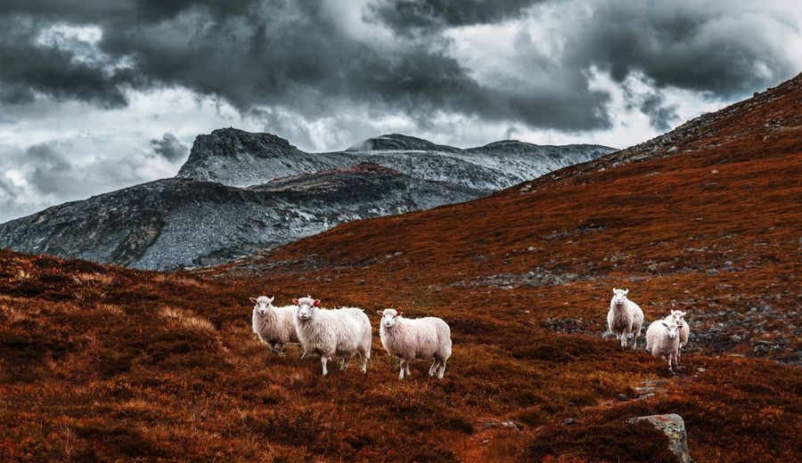 Those sheeps know the best places in the mountains ;) Sheeps Mountains Freedom Paradise Clouds Discover  Mood Animals Wildlife Hiking Wabderlust Norway Exploring Scenics Mountain Nature Domestic Animals Outdoors Animal Themes Mountain Range No People Cold Temperature Landscape Beauty In Nature Day Sky