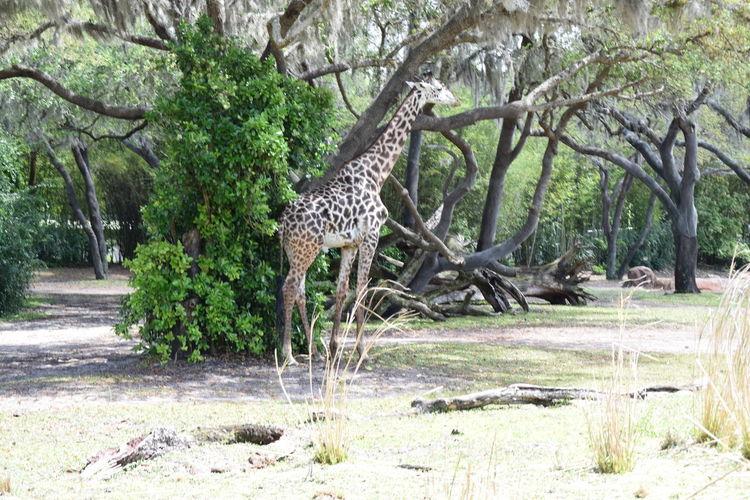 Savannah Animal
