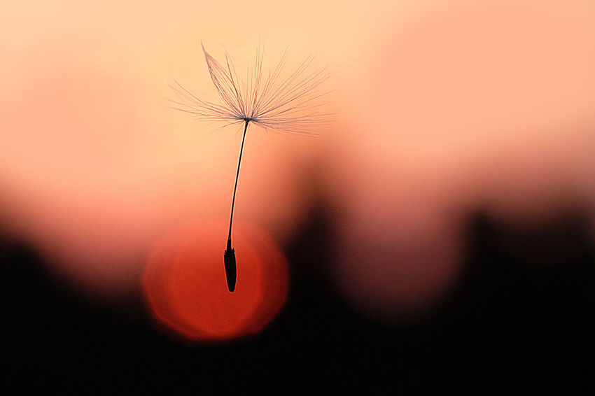 Fujinon 60mm Beauty In Nature Dandelion Seed Focus On Foreground Fragility Macro Nature No People Orange Color
