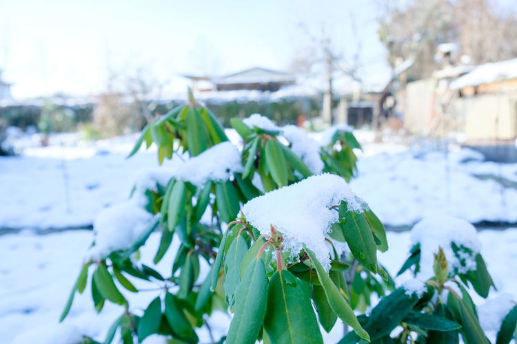 Close-up of snow covered plants