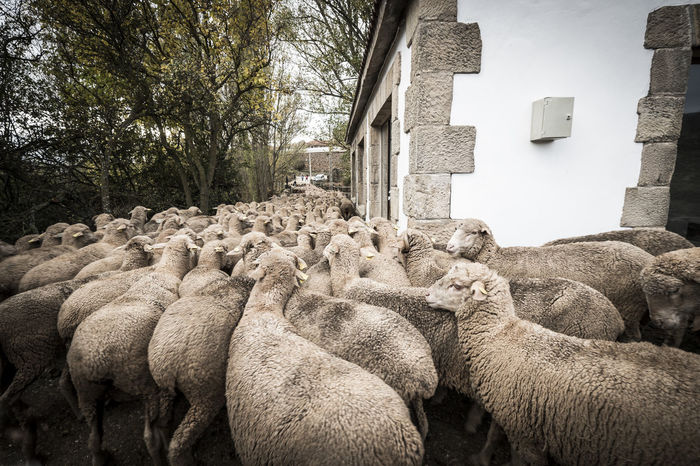 Countryside lifestyle in the province of Soria SPAIN Soria Animal Animal Themes Architecture Building Exterior Built Structure Countryside Day Fields Large Group Of Animals Mammal Nature No People Outdoors Sheep Sheeps Tree