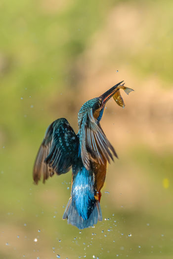 Kingfisher Flight Martín Pescador Alcedo Atthis Animal Themes Animal Wildlife Animal Bird Animals In The Wild One Animal Vertebrate Water Focus On Foreground No People Nature Motion Day Close-up Spread Wings Flying Waterfront Mid-air Outdoors