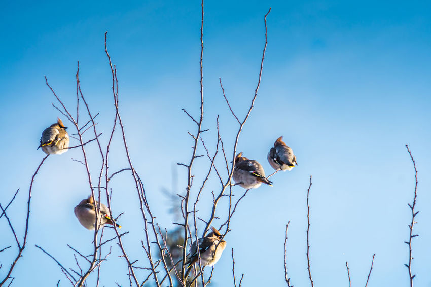 Wintertime Animal Animal Themes Animal Wildlife Animals In The Wild Beauty In Nature Bird Blue Branch Day Group Of Animals Low Angle View Nature No People Outdoors Plant Sky Three Animals Tree Vertebrate Waxwing Waxwings