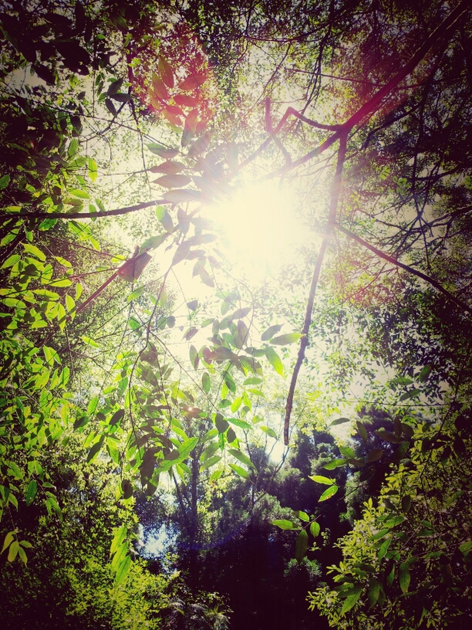 tree, sun, sunbeam, sunlight, growth, low angle view, lens flare, branch, tranquility, nature, beauty in nature, forest, tranquil scene, scenics, bright, sunny, green color, sky, back lit, day