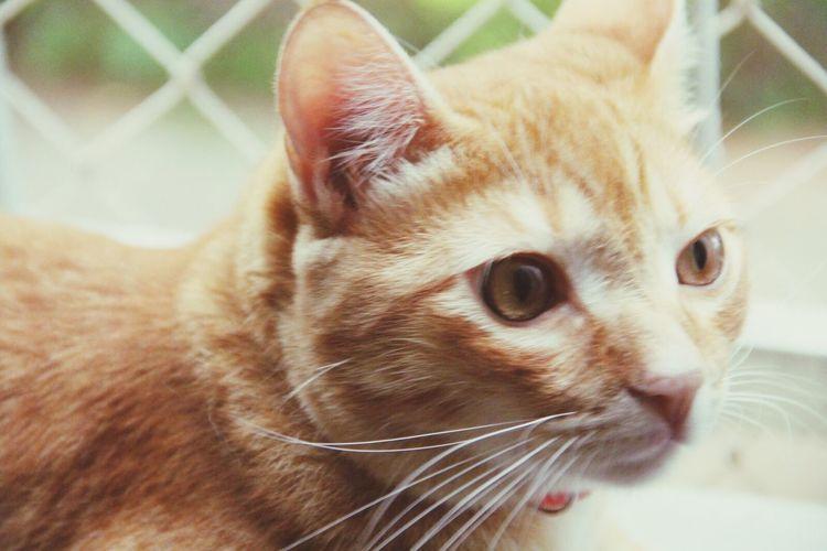 Domestic Cat Pets Feline Cats