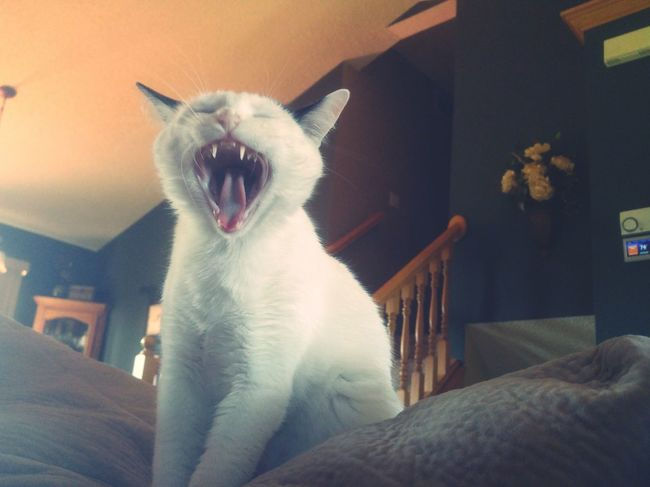 Cat Yawning My Favorite  Check This Out Taking Photos Hanging Out Cat My Cat Cats Of EyeEm Pet Photography  Trinity White And Black Yawning Cat