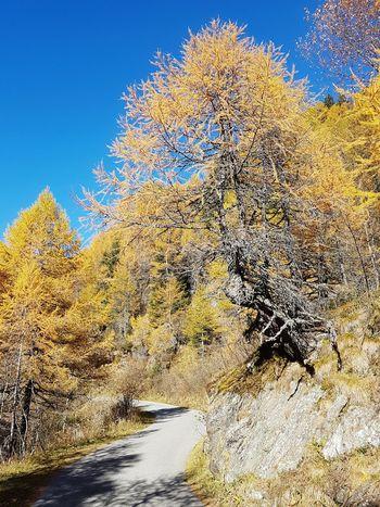 Larix decidua Nature Breathing Space Tree