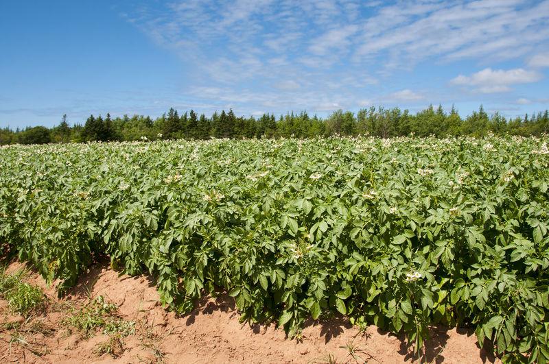 Potato Plantation Potato Agriculture Canada Pei Plantation Prince Edward Island