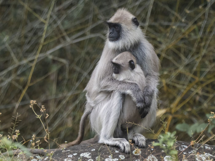 Female Southern Plains Gray Langur (Semnopithecus dussumieri) Animals In The Wild Animal Wildlife Mammal Vertebrate Primate Sitting Nature No People Group Of Animals Plant Day Two Animals Land Young Animal Full Length Outdoors Animal Family Care Langur