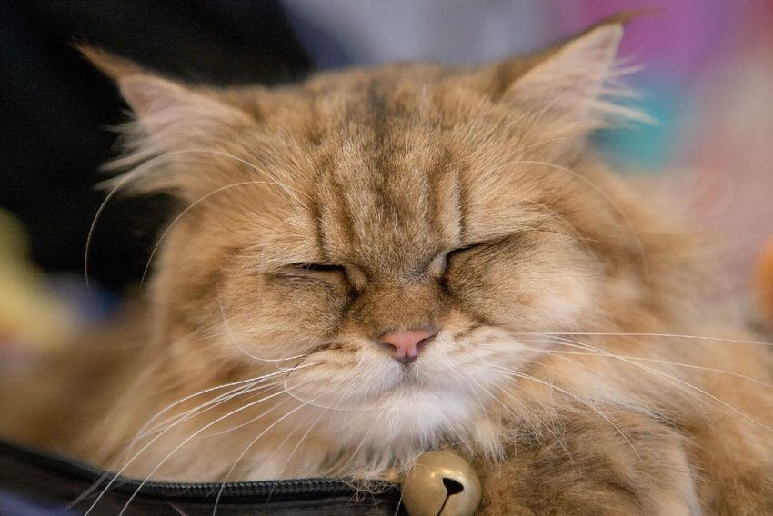 Cat One Animal Pets Close-up Animal Head  Focus On Foreground Cute Cats Cat Smiling