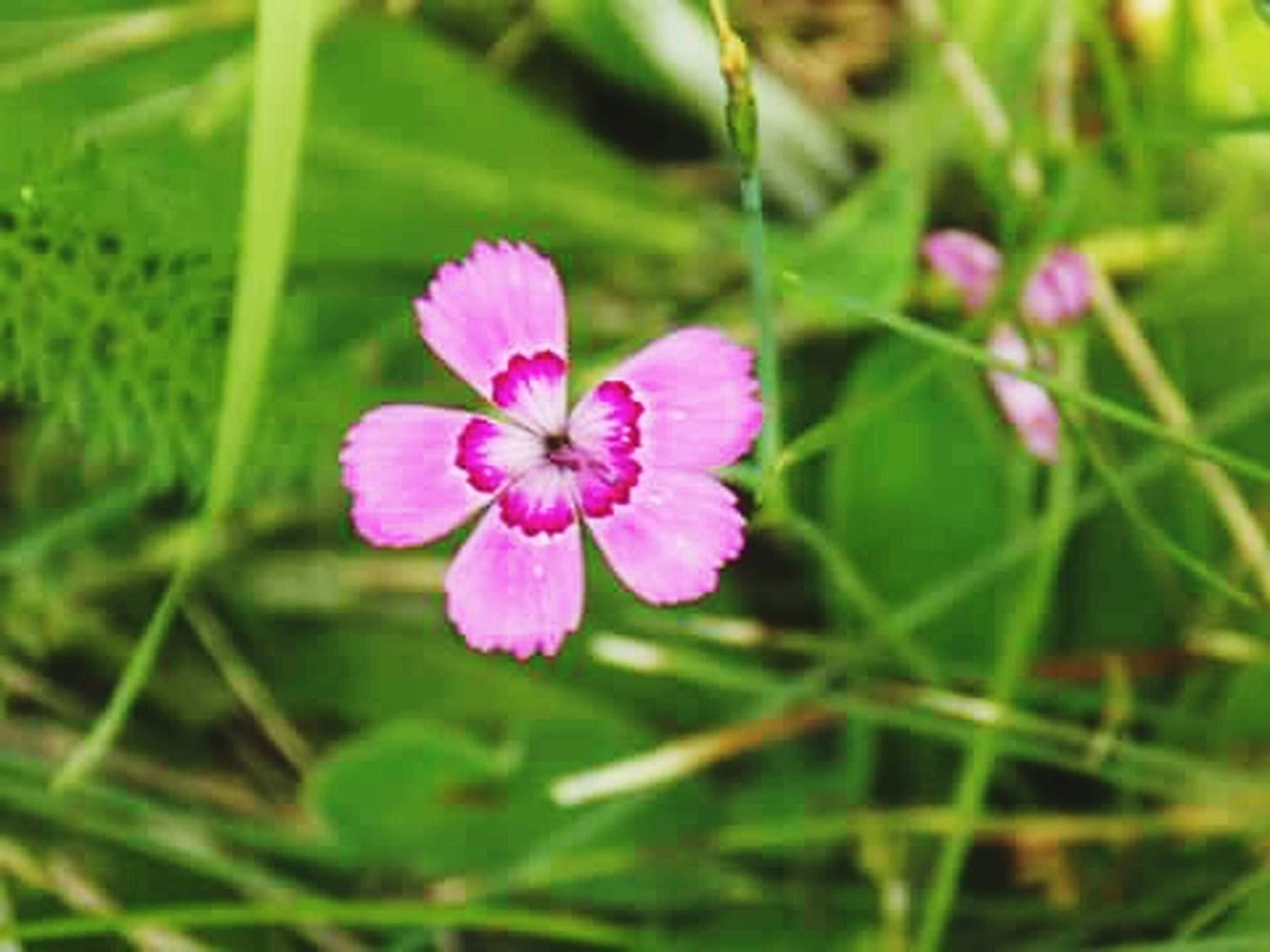 flower, freshness, petal, fragility, growth, flower head, beauty in nature, pink color, close-up, blooming, focus on foreground, plant, nature, single flower, leaf, in bloom, green color, day, outdoors, blossom