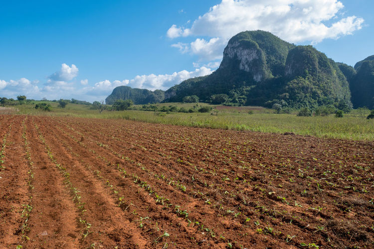Agriculture Cuba Field Tobacco Viñales Beauty In Nature Cloud - Sky Growth Landscape Mountain Nature Plantation Valley Vinales Cuba Viñales Valley