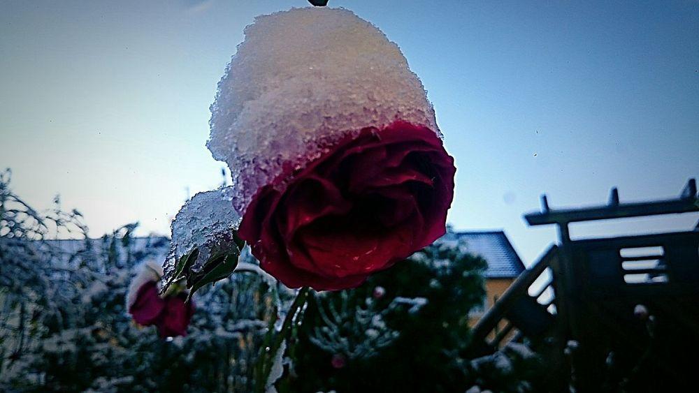 Wintertime Nature Flowercloseup Snowflower Winter Wonderland Snow ❄
