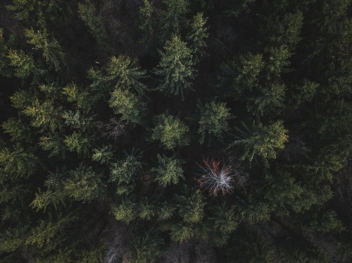 Aerial Shot Nature Pine Tree Aerial View Backgrounds Beauty In Nature Dronephotography Foliage Forest Full Frame Green Color Growth Land Lush Foliage Nature No People Non-urban Scene Outdoors Pine Tree Pine Woodland Plant Tranquil Scene Tranquility Tree