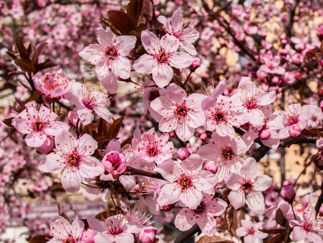 Beauty In Nature Blooming Close-up Crimea,Russia Day Drain Pissardi Flower Flower Head Flowers Fragility Freshness Gawlet Growth Nature No People Outdoors Petal Pink Color Plum Blossom Plum Desks Prunus Cerasifera Prunus Cerasifera Pissardii Prunus Pissardii Sevastopol' Springtime