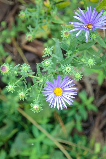 Purple Daisy's Macro_flower Flower Flowering Plant Plant Freshness Vulnerability  Fragility Growth Flower Head Beauty In Nature Nature Inflorescence Petal Close-up Green Color Focus On Foreground Day No People High Angle View Purple White Color