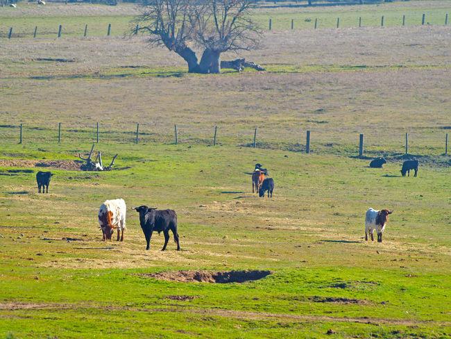 Animal Themes Bull Bullfighting Bulls Cow Cows Danger Dangerous Animals Day Dehesa Farm Animals Grass Grassland Landscape Mammal Nature Outdoors Pasture, Paddock, Grassland, Pastureland Powerful Quercus Quercus Ilex Toro Toros Wildlife