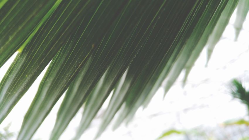 Garden Warm Latvia Botanical Gardens Botanical Garden Photography Fresh Wildlife Forest Photography Riga Composition Leaf Leafs Photography Leafs Flower Abstract Photography Palm Leaf Nature Close-up Frond Green Color Leaf Palm Tree Growth No People Day Tree Beauty In Nature Outdoors Freshness
