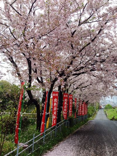 Japan Hiroshima Innoshima 広島県 尾道市 Onomichi サクラ Sakura Cherry Blossoms