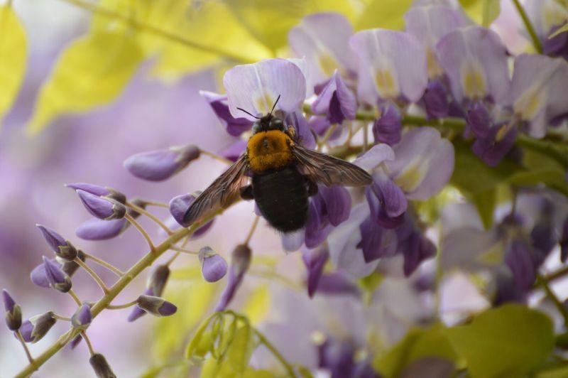 フジ ハチ
