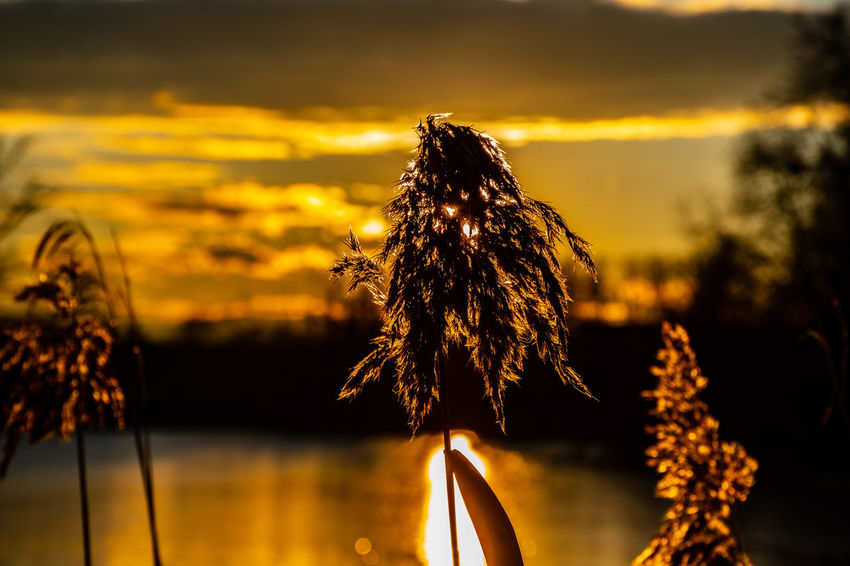 Sunset Plant Sky Beauty In Nature Water Tranquility Focus On Foreground Nature Growth Tranquil Scene No People Close-up Lake Scenics - Nature Outdoors Yellow Sunlight Flower Sun EyeEm Best Shots EyeEmNewHere Eye4photography  EyeEm Gallery Nature_collection The Week on EyeEm