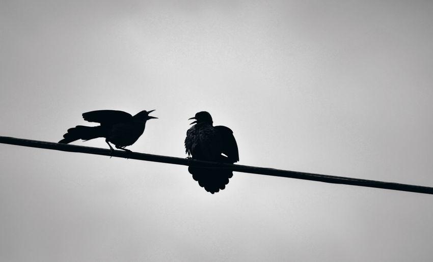 EyeEm Best Shots EyeEmBestPics Animal Themes Animals In The Wild Bird Clear Sky Crow Eyeem Gallart Fighting Birds Low Angle View Perching Raven - Bird Silhouette Togetherness