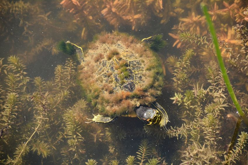 Red Eared Slider turtle Red Eared Terrapin Terrapin Trachemys Scripta Elegans Florida Nature Florida Wildlife Underwater Reptile Turtle Turtles Red Eared Slider Red Eared Slider Turtle Nature No People Outdoors Day Underwater Water Animal Themes Close-up