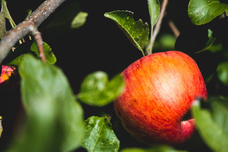 Agriculture Apple - Fruit Close-up Day Food Food And Drink Freshness Fruit Green Color Growth Healthy Eating Leaf Nature No People Outdoors Plant Plant Part Red Ripe Selective Focus Wellbeing