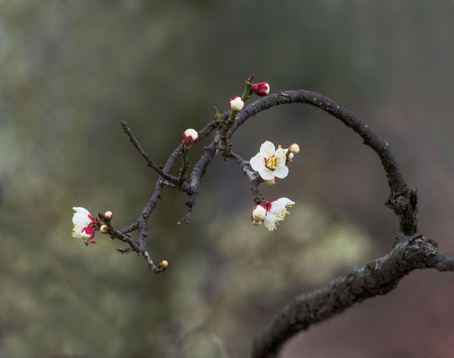 Asian Plum during pre-Spring season Plant Close-up Nature Focus On Foreground Vulnerability  Fragility Outdoors Beauty In Nature Asian Plum Ume