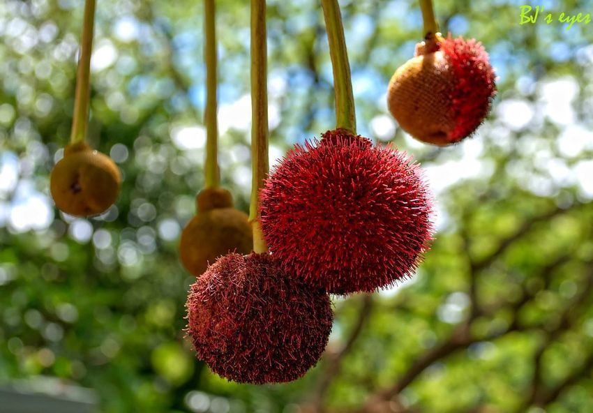 Hangin Plant Fruit Healthy Eating Tree Food Growth Food And Drink Focus On Foreground Nature Day Hanging