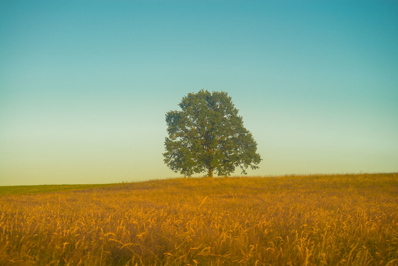 field, nature, agriculture, landscape, clear sky, growth, beauty in nature, tranquility, tranquil scene, tree, rural scene, summer, outdoors, no people, scenics, lone, grass, day, sky