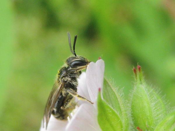 Andrenidae Beauty In Nature Close-up Cranesbill Flower Bee Geranium Geranium Carolinianum Insect Insects  Nature Wildlife アメリカフウロ ヒメハナバチ科