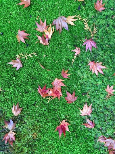 Moss templéis awesome!!! 緑 Green 苔 Momiji もみじ 紅葉 Moss Change Color Autumun Color Japan Green Color Nature Plant No People High Angle View Autumn