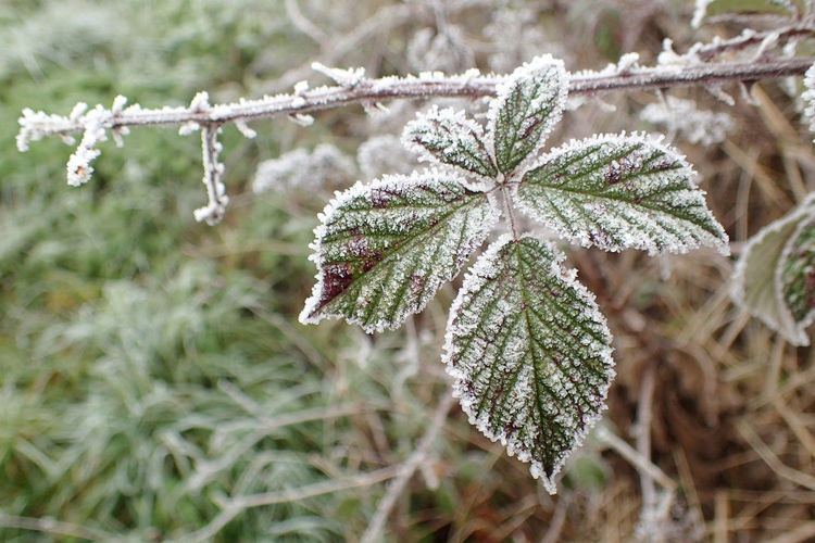 Close-up of frost on leaves