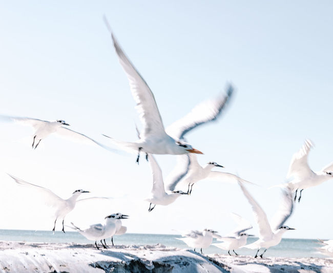 Seagulls in mexican heaven. Birds Birds Of EyeEm  Beach Beachphotography Travel Destinations Holbox Holbox The Paradise Holbox Island Mexico Seagulls Seagulls And Sea Seagulls In Flight