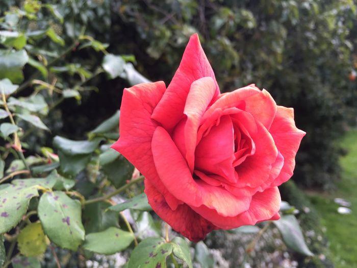 Roses Red Rose Rose Tree Garden Rose Garden Flowers,Plants & Garden Garden Photography