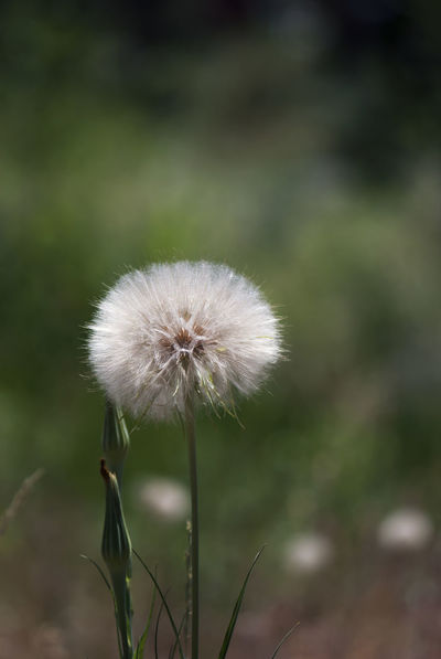 A salsify seed head in a mountain meadow on a summer day. Asteraceae Ball Botanical Botany Dandelion Dandelions Feather  Flora Flower Fluffy Globe Goatsbeard Green Plant Salsify Seed Seed Head Seeds Soft Sphere Stem Vertical White Wild Wildflower