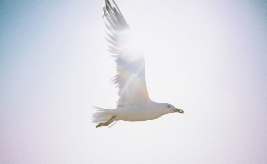 Close-up of seagull flying against clear sky