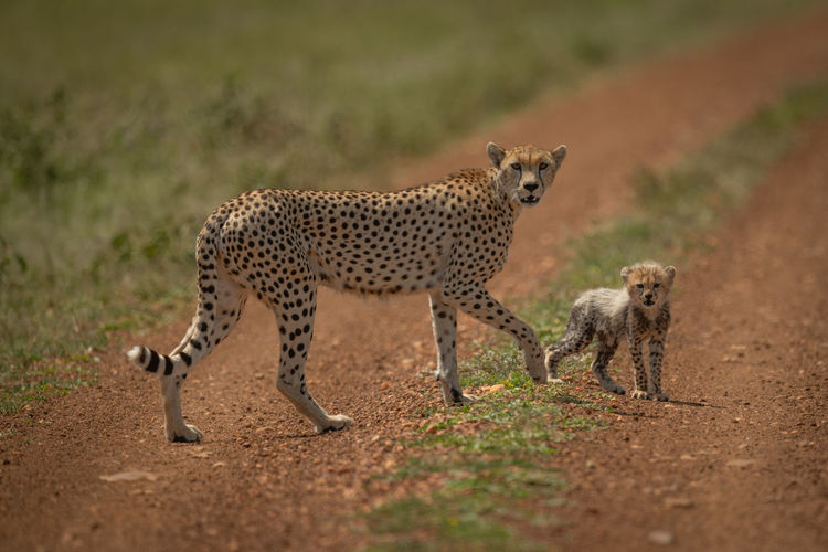 Full length of cheetah on land
