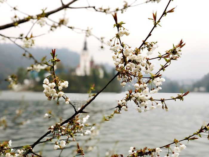 Bled Lake Slovenia Bled Lake Slovenia EyeEm Selects Flower Plant Flowering Plant Tree Fragility Beauty In Nature Branch Focus On Foreground Blossom Nature Vulnerability  Growth Springtime Freshness Day White Color Close-up Outdoors