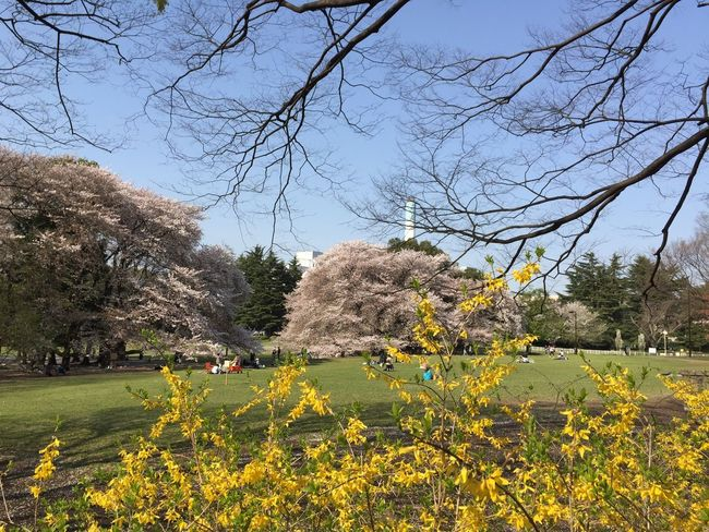 Kinuta Park Sakura 2017
