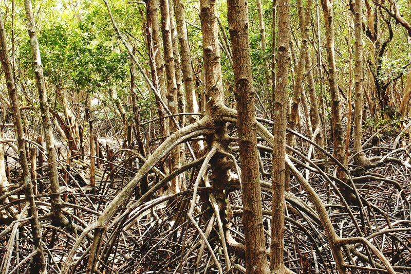 the nature The Nature And Lifestyle Trees รากต้นไม้เพื่อกันน้ำกัดเซาะตลิ่งที่ปากน้ำประแสร์จังหวัดระยอง