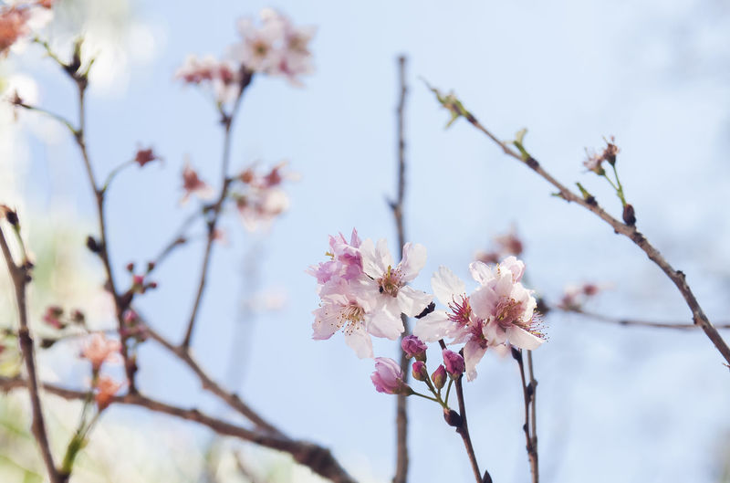 Sakura Sakura Trees Beauty In Nature Blossom Cherry Blossom Cherry Tree Close-up Day Flower Flower Head Flowering Plant Focus On Foreground Fragility Freshness Growth Low Angle View Nature Pink Color Sakura Blossom Springtime Tree Vulnerability  Wallpaper Background EyeEmNewHere